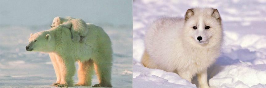 Oso Polar y Zorro Ártico